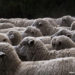 Wool Sheep To Isolate Your Home